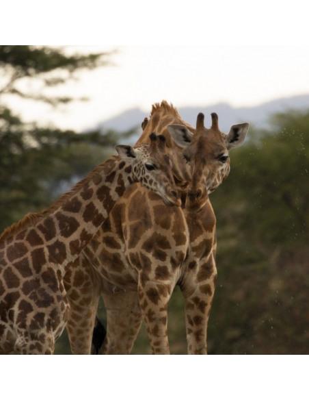 Grupo de jirafas que ayuda la fundación